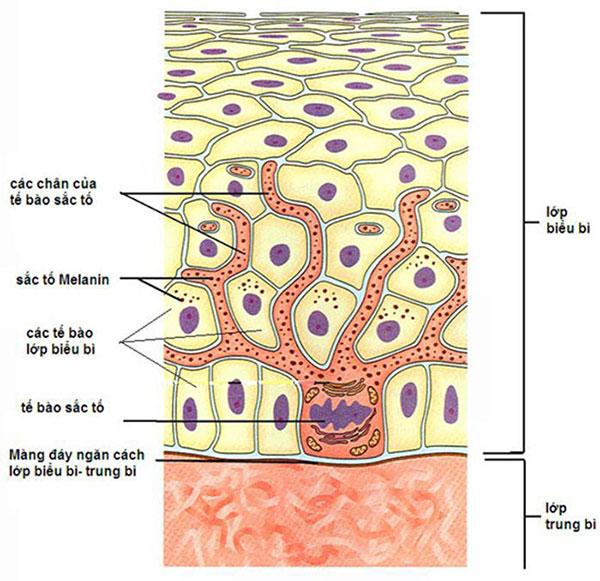 Các sắc tố Melanin được tăng cường quá mức bởi Melanocytes