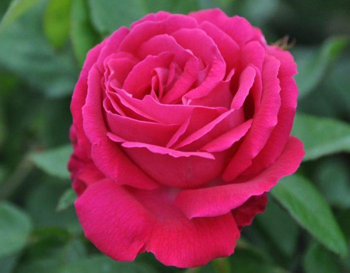 Những hình ảnh hoa hồng đỏ