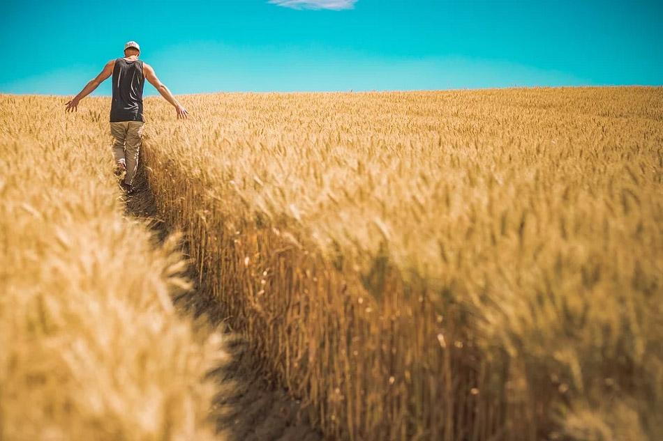 Một người đàn ông đang đi trên cánh đồng lúa mì