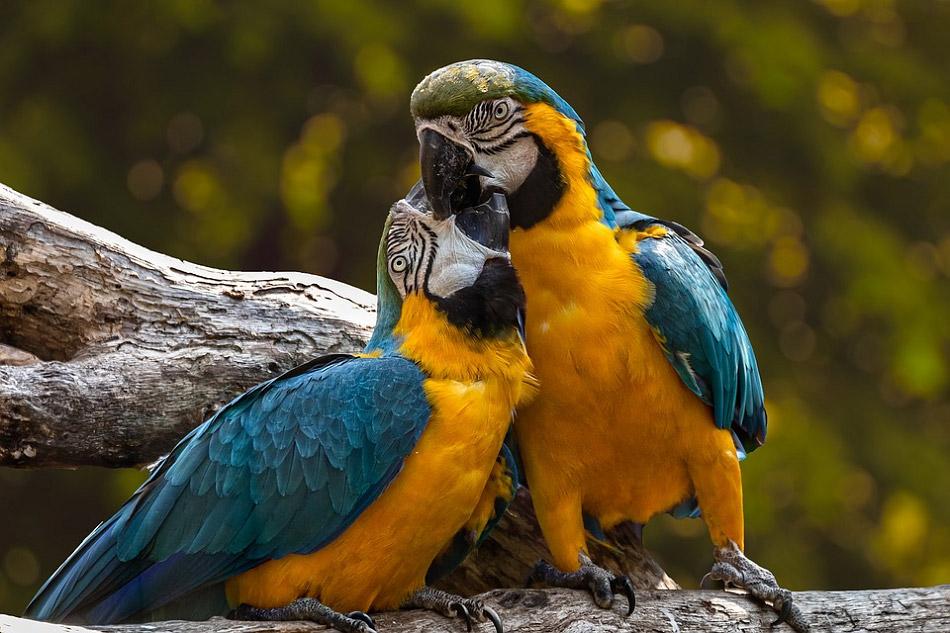 Hình ảnh đẹp cặp vẹt đang âu yếm nhau