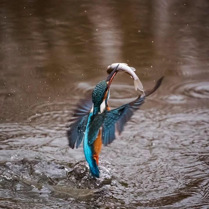 Hình ảnh đẹp chim bói cá đang gắp cá bay lên