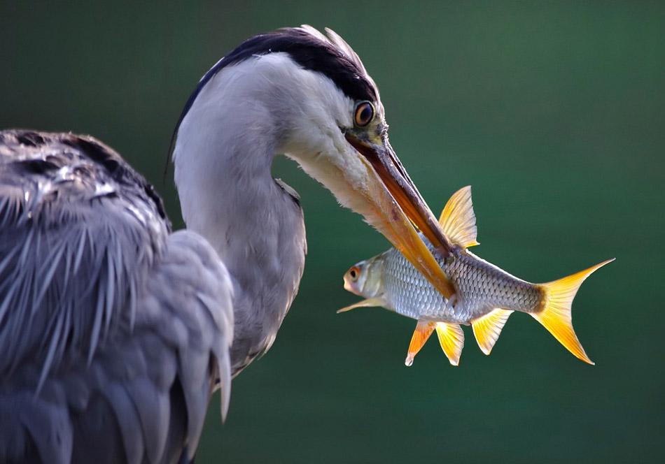 Hình ảnh chú cò lớn đang gắp một con cá