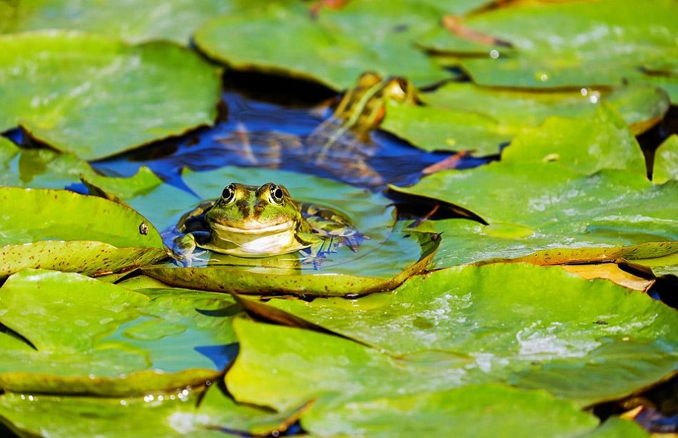 Chú ếch xanh ngồi trên lá cây hoa súng