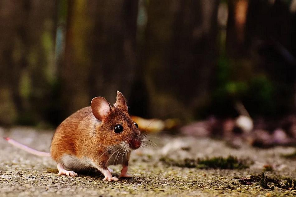 Hình ảnh đẹp chú chuột đang đi