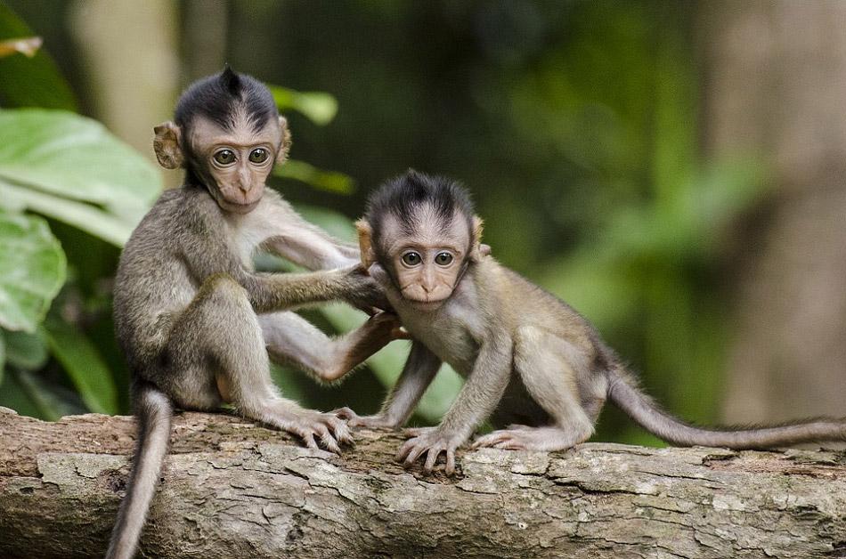 Hai chú khỉ con