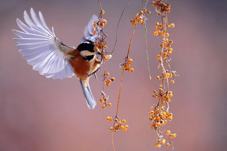 Hình ảnh đẹp chú chim đang ăn quả