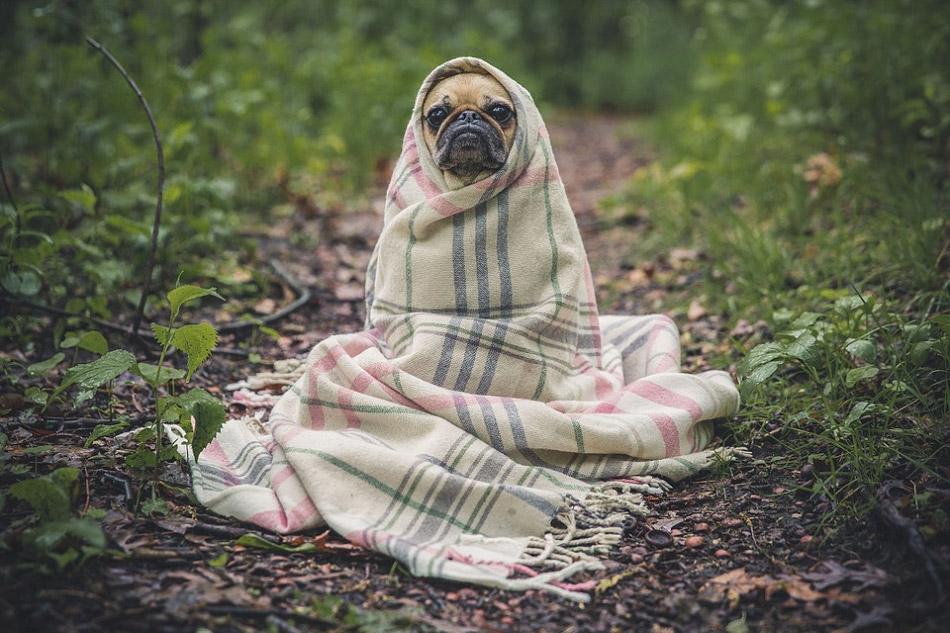 Chú chó quấn khăn