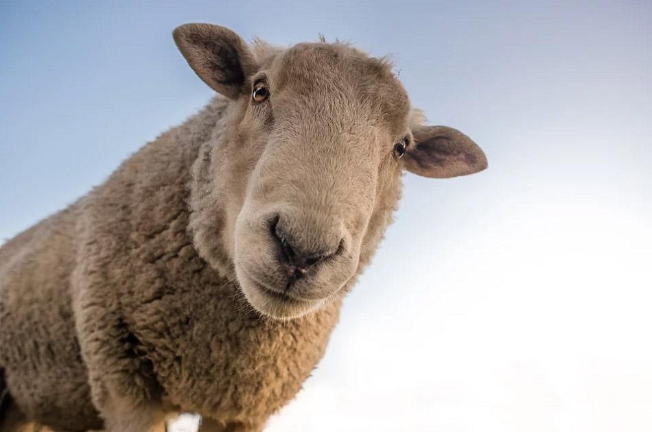 Chú cừu nhìn vào ống kính