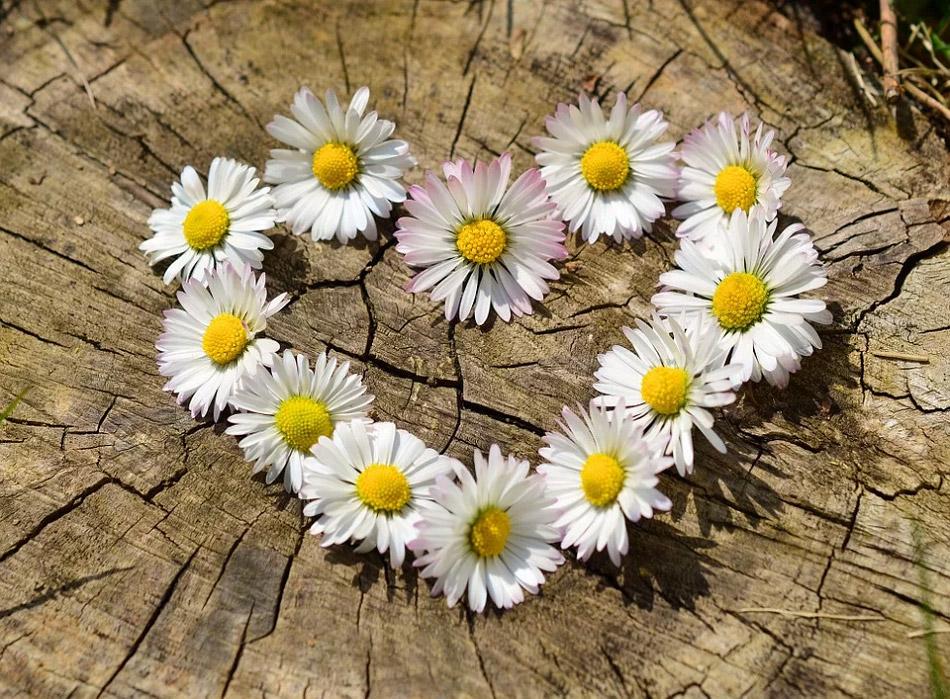 Hoa cúc trắng
