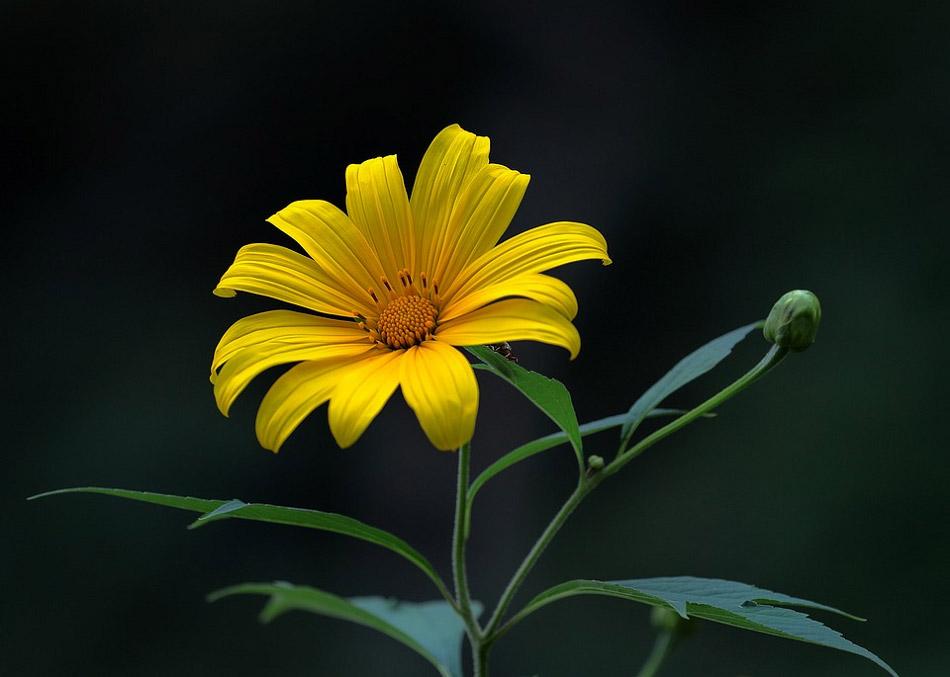 Hoa dã quỳ vàng