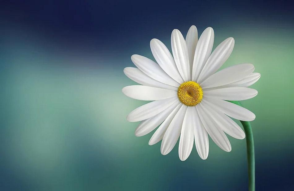 Bạch hoa