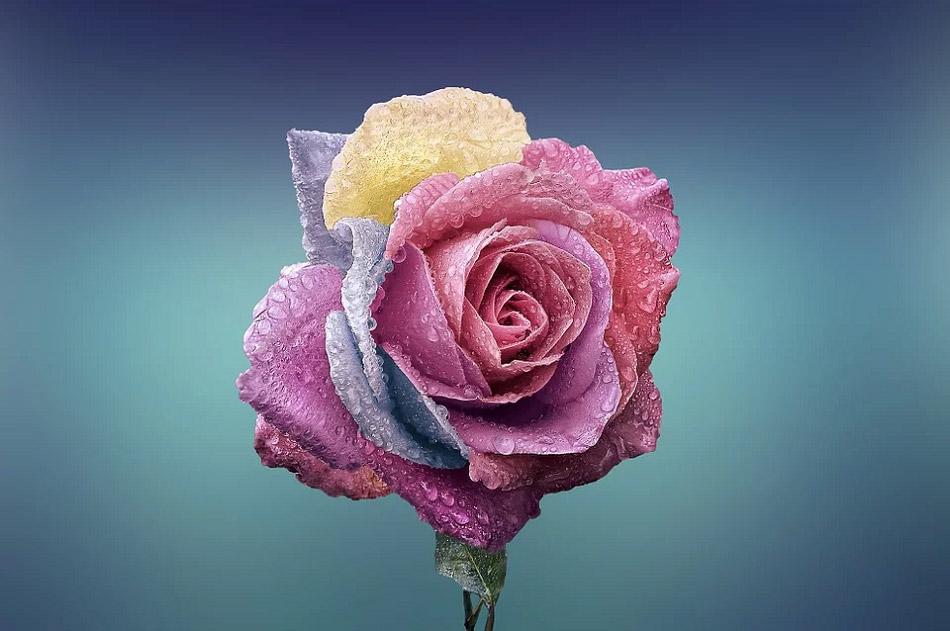 hoa hồng nhiều màu