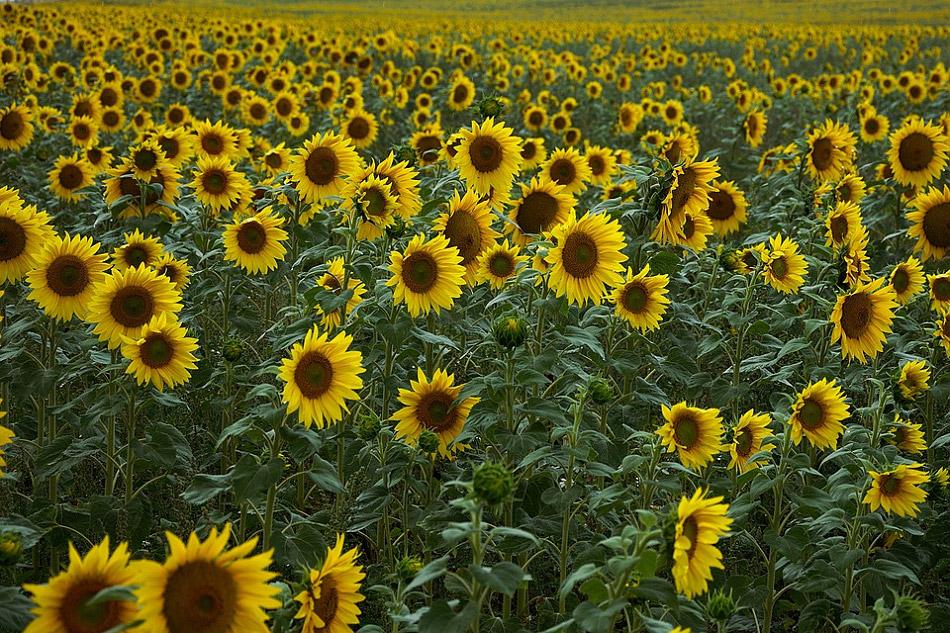 Hình ảnh cánh đồng hoa hướng dương vàng