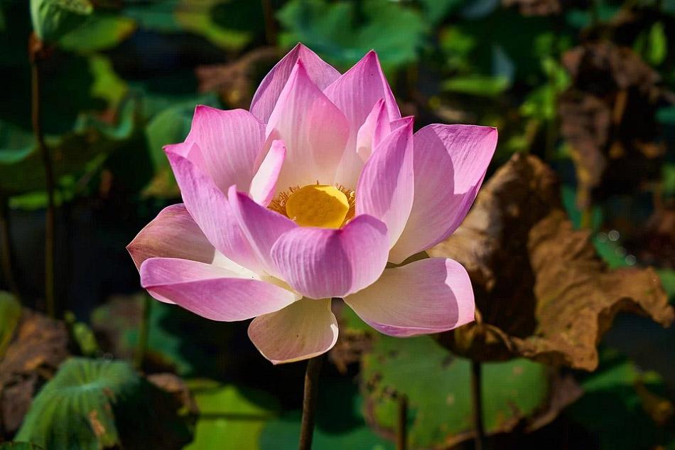 Hoa sen màu hồng