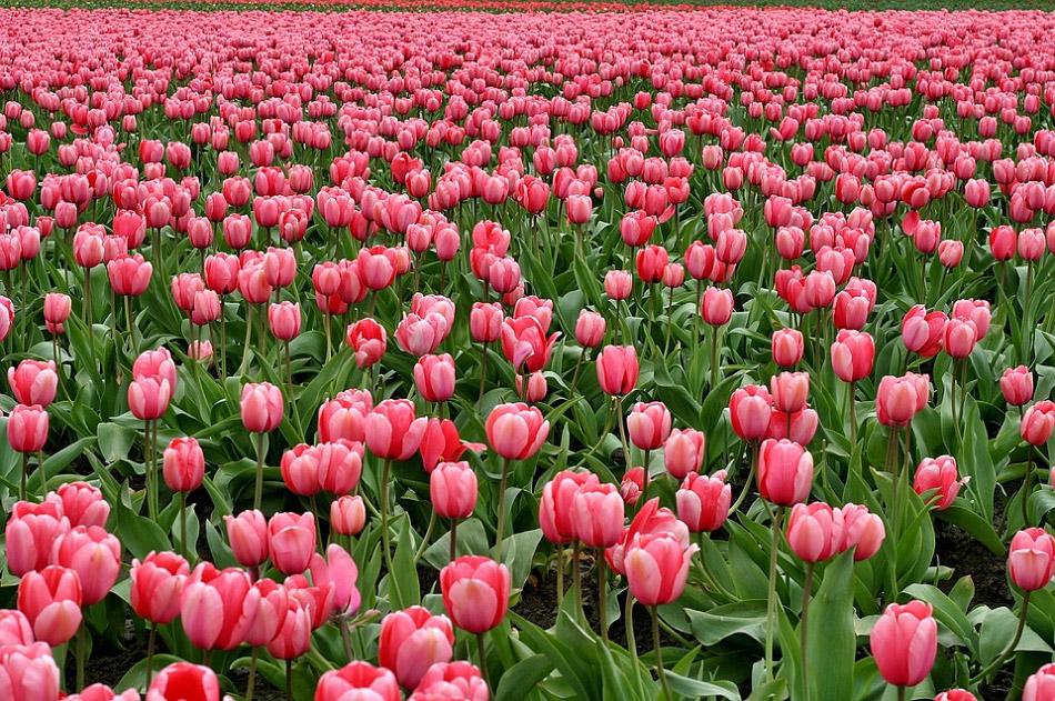 Hình ảnh vườn hoa tulip đẹp