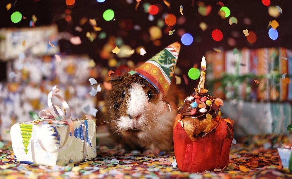 Hình ảnh chú chuột lang đang được tổ chức sinh nhật