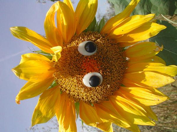 Bông hoa hướng dương vui nhộn