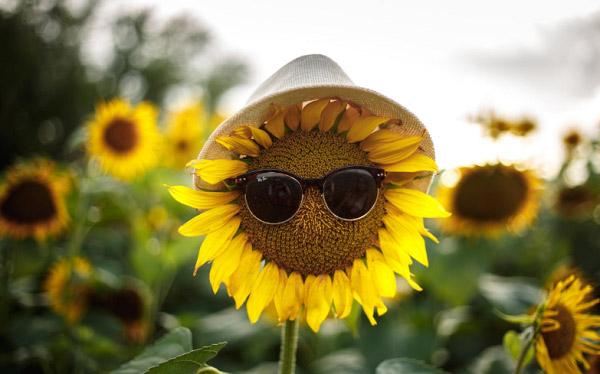 Hướng dương với kính và nón