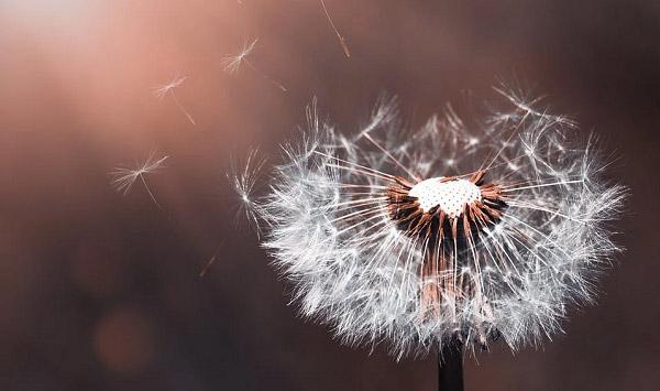 Những cánh hoa bay trong gió