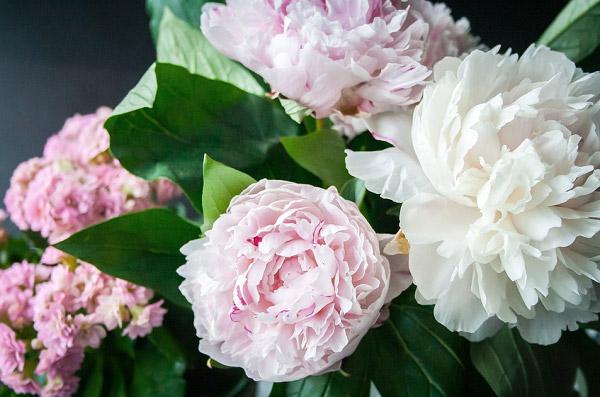 Những bông hoa mẫu đơn