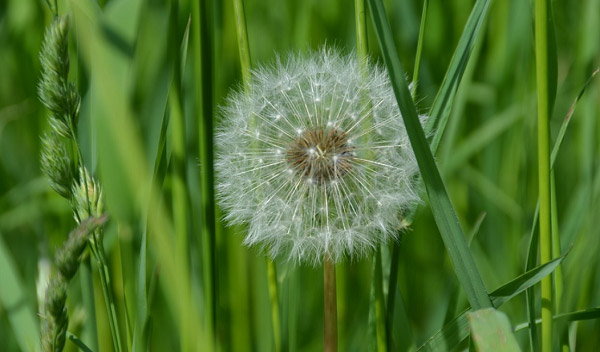 Hình ảnh đối lập hoa bồ công anh khô và cỏ xanh mướt