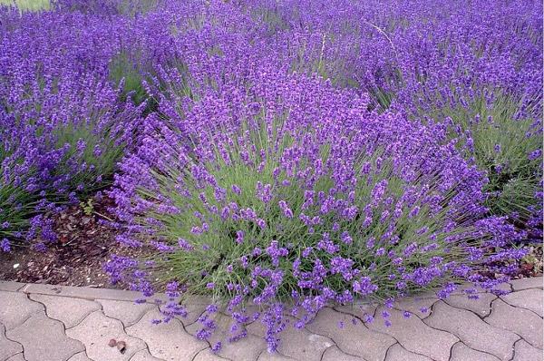 Sự tích về loài hoa lavender