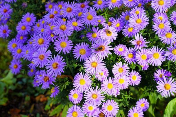 Bụi hoa thạch thảo đẹp
