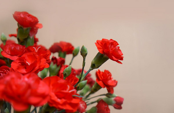 Hình ảnh cẩm chướng đẹp