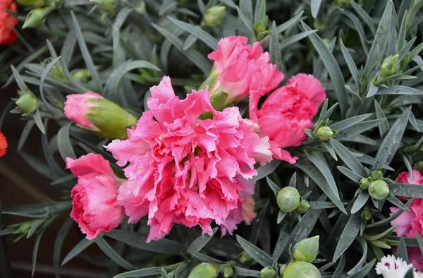 Hình bông hoa cẩm chướng hồng