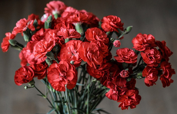 Những bông hoa cẩm chướng đỏ qua bàn tay của các nhiếp ảnh gia