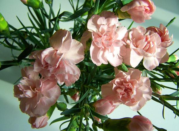Cẩm chướng hồng nhạt