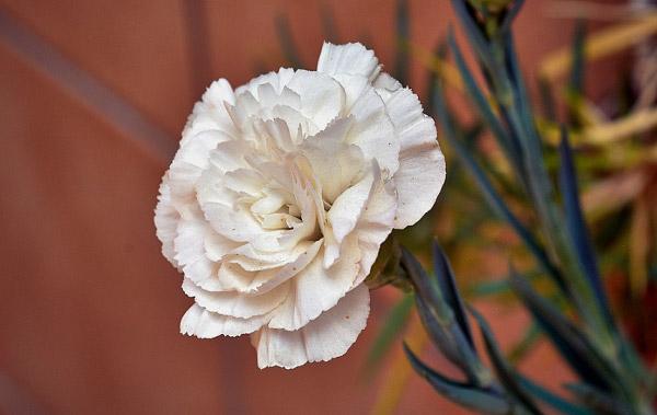 Hoa cẩm chướng màu trắng kem