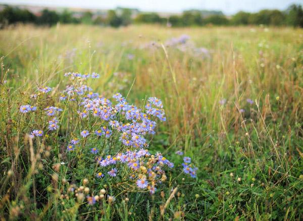 Hoa thạch thảo trên cánh đồng hoang