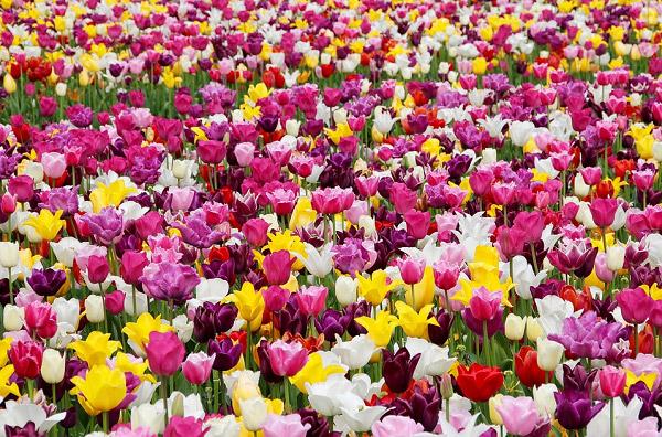 Cánh đồng hoa tulip nhiều màu sắc