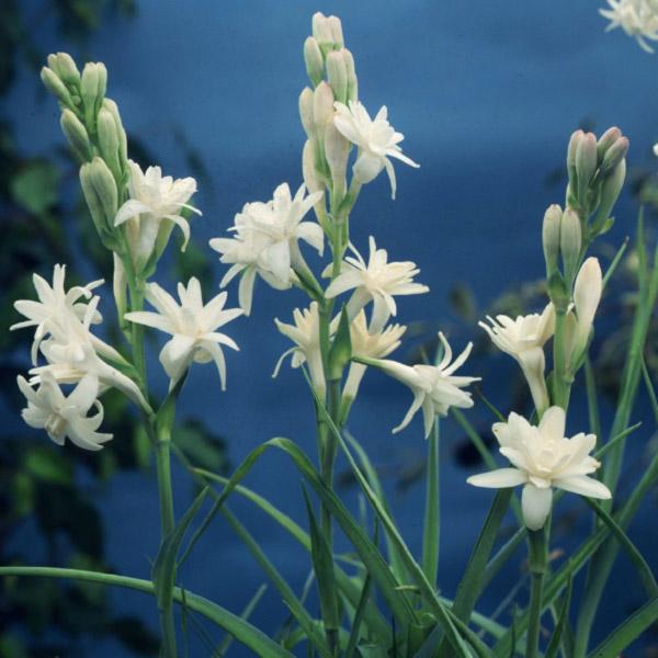 Cây hoa huệ đẹp