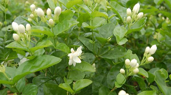 Hình ảnh cây nhài đang ra hoa