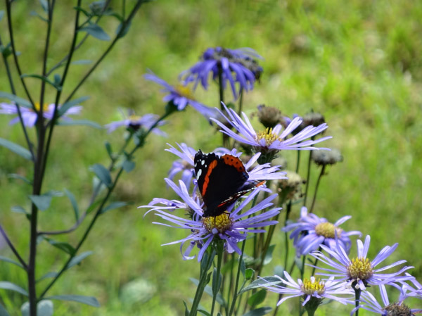 Cánh bướm đen trên những bông hoa
