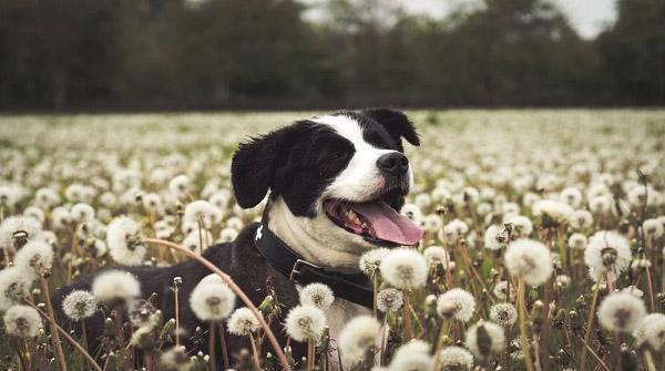 Chú chó và cánh đồng hoa bồ công anh