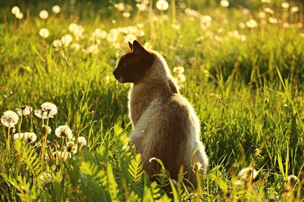 Chú mèo đứng trên đông cỏ có nhiều hoa bồ công anh