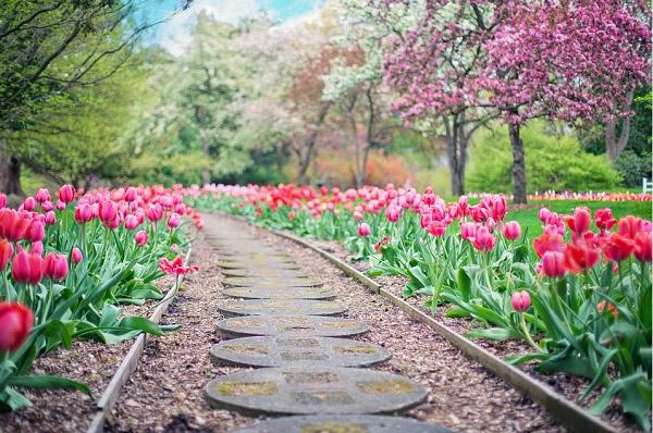 Con đường hoa tulip