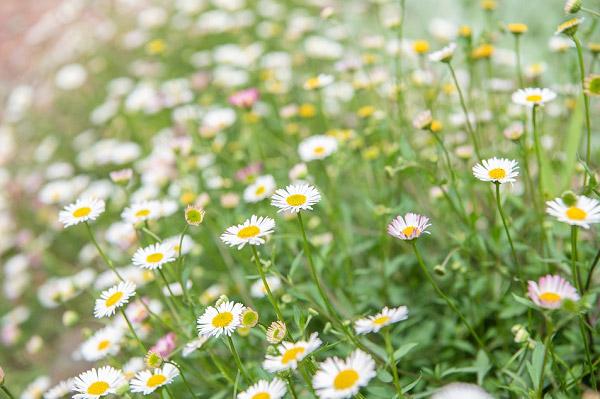 Những bông cúc họa mi trắng mọc dại