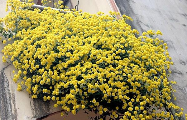 Hoa nở cả lớp