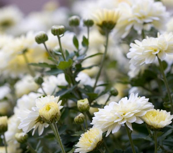 Cúc trắng khoe sắc