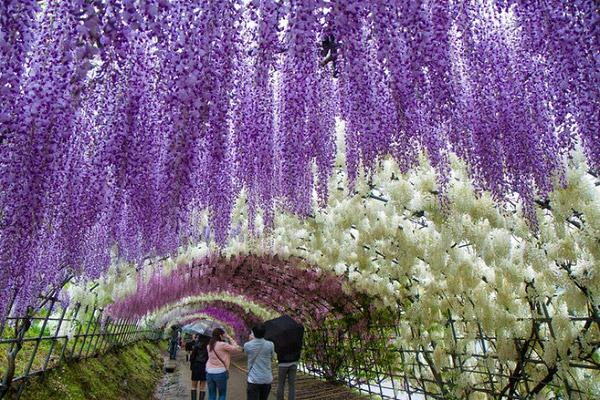 Đưuòng hầm hoa tử đăng hút khách du lịch