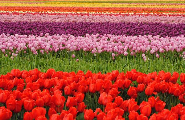 Hình ảnh cánh đồng hoa tulip đẹp 1