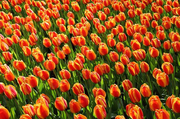 Hình ảnh cánh đồng hoa tulip đẹp 10