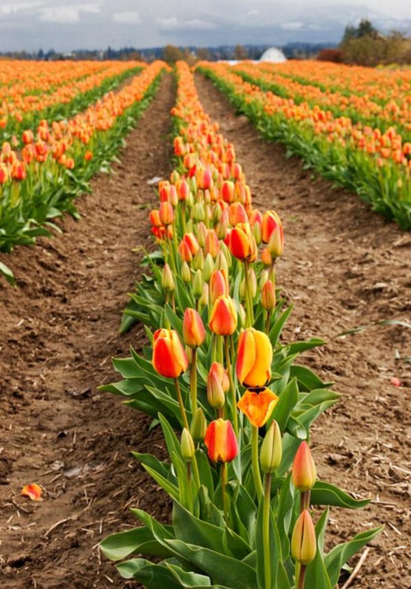 Hình ảnh cánh đồng hoa tulip đẹp 2