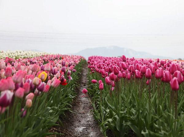 Hình ảnh cánh đồng hoa tulip đẹp 3