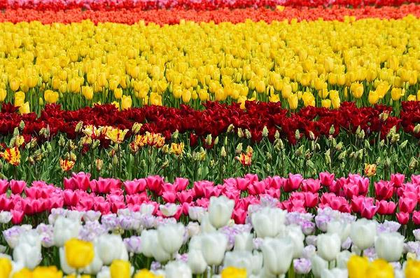 Hình ảnh cánh đồng hoa tulip đẹp 4