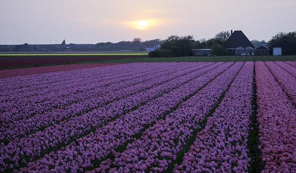 Hình ảnh cánh đồng hoa tulip đẹp 5